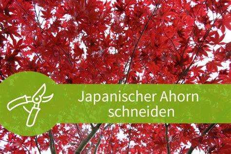 japanischer ahorn formschnitt ahorn bonsai schneiden bonsai ahorn schneiden pflanzen f r nassen boden rotahorn als bonsai