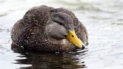 Duck Ducks Bird American Guide North Male