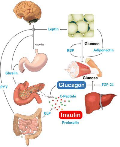 metabolism assays  elisa kits  glucagon  insulin