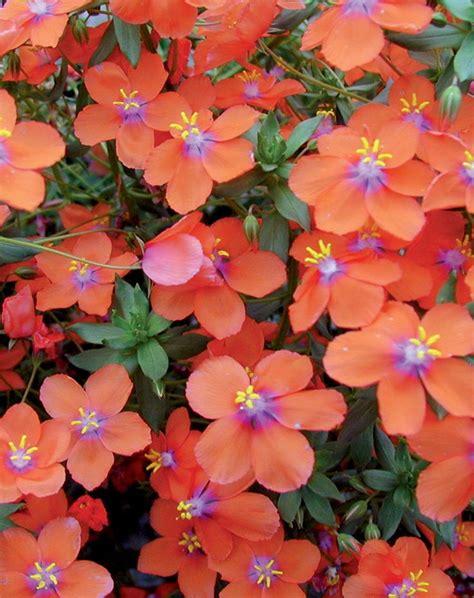 all season flower plants wildcat orange anagallis hybrid early flowering with large orange flowers all season heat