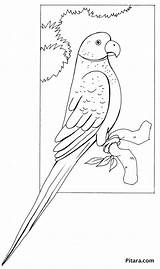 Parrot Coloring Pages Pitara Birds Craft sketch template