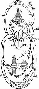 Blood Flow Diagram