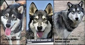 Texas Wolfdog Project | Misrepresentation