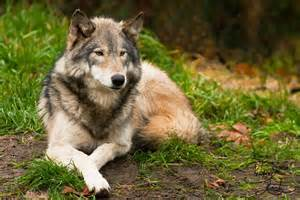 Most Beautiful Wolves