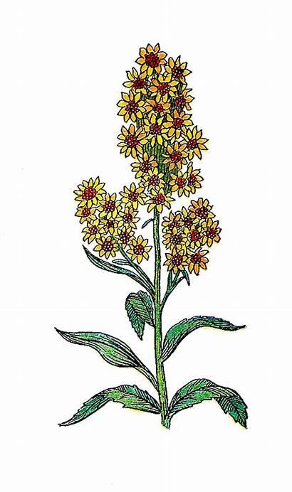 Herb Thistle Clip Botanical Illustration Golden Handmade