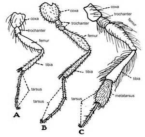 Legs Of Hymenoptera