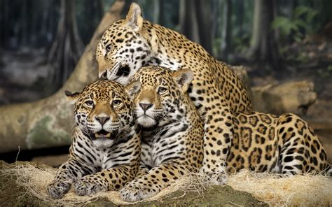 Jaguar Picture by Jaguar Animal Wallpapers High Quality Free