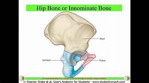 Osteology Of Hip Bone  U0026 Femur