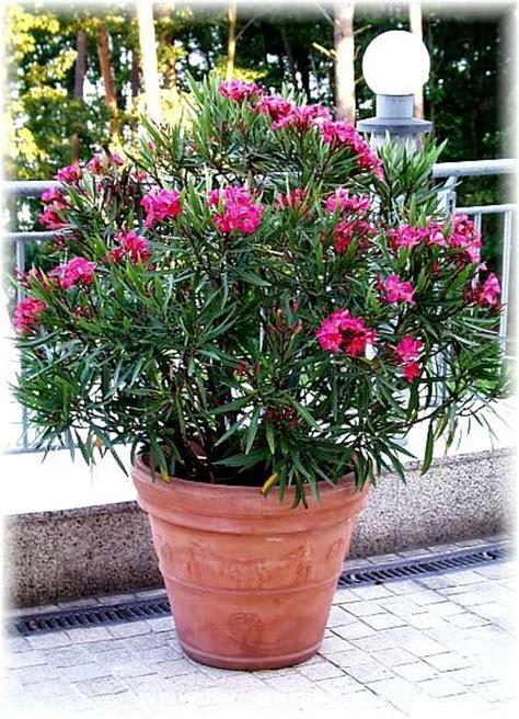 oleander im topf oleander im topf bildquelle www flora toskana de