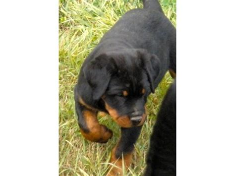 17 best ideas about german rottweiler puppies on