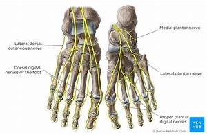 Lower Extremities Arteries And Nerves  Anatomy  Branches