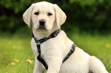 labrador puppy   harness