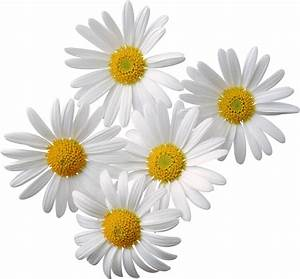 Camomile PNG image, free picture flower download