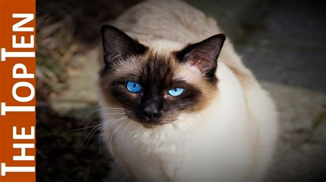 cat breeds most ten