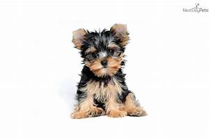 Adult yorkshire terrier for sale