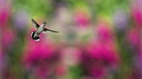 wallpaper bird hummingbird humming bird colorful blur
