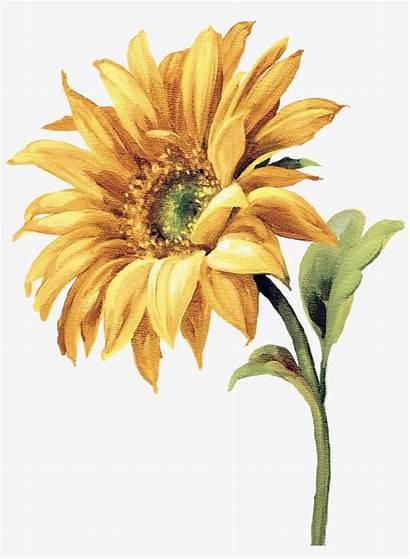 Sunflower Watercolor Flowers Flower Painting Sun Transparent