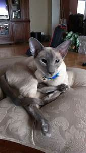 Blue point siamese | Siamese Please... | Pinterest