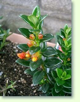 kussmaeulchen pflege pflanzenfreunde