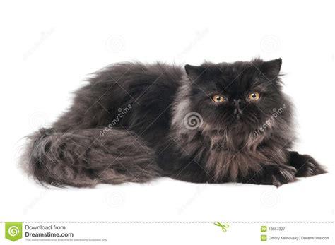 chat persan noir de minou image stock image du whelp 18957327