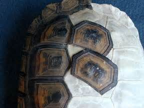 the quot scales quot on a turtle s shell are called quot scutes