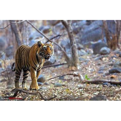 Team-BHP - Tigers of the Ranthambore National Park
