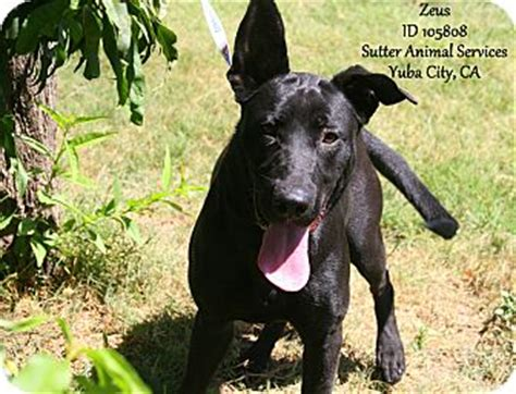 zeus adopted dog  yuba city ca great
