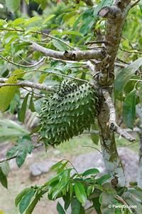Arbre A Fruit : les fruits exotiques ~ Melissatoandfro.com Idées de Décoration