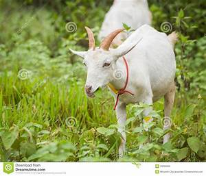 Goat Eating Grass Stock Photo  Image Of Lovely