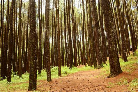 hutan pinus mangunan adek abdullah