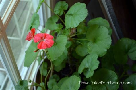 propagating geranium propagating geraniums or cloning flower patch farmhouse