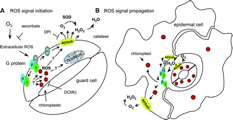 signaling  cell death roles  heterotrimeric