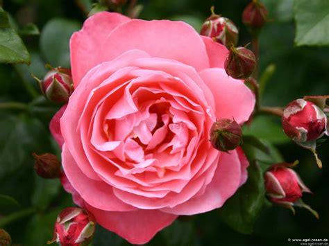 Mein Schöner Garten ®  Strauchrose  Kaufen Bei Agel Rosen