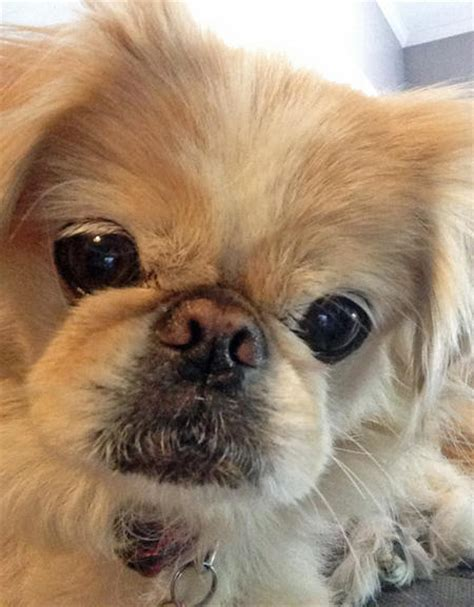 pekingese grooming styles dog care daily puppy