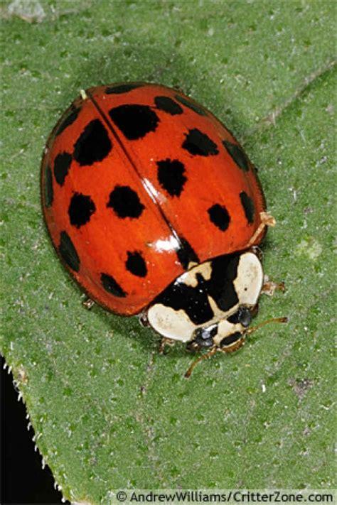asian lady beetle ladybug  lady bug works