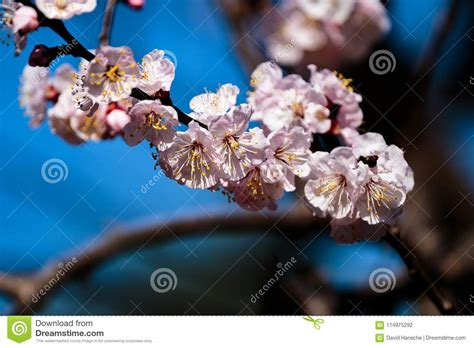 Close Up Branch Full Of Japanese Cherry Blossoms Stock