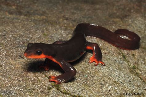 belly newt red bellied newt taricha rivularis