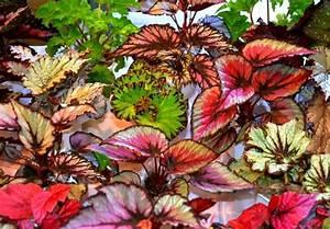 Grünpflanzen Für Dunkle Räume : zimmerpflanzen f r dunkle r ume begonien schiefblatt ~ Michelbontemps.com Haus und Dekorationen