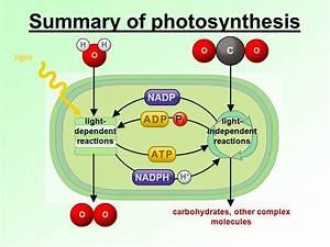 What Is The Purpose Of The Light Dependent Reactions Of