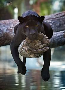 A Black Jaguar Hangs Out On A Tree - Naturely
