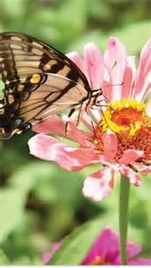 Zinnia Flowers and Butterflies