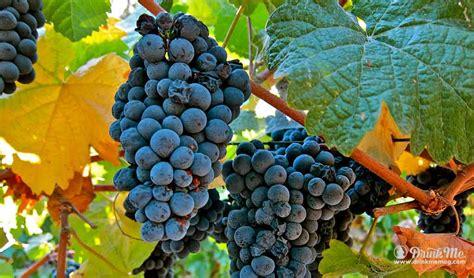 unusual grape varieties  napa valley