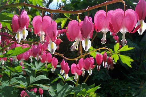 fiori per il giardino le piante e i fiori pi 249 adatti per un giardino umido
