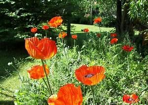 Garten Mohn Sorten : mohnblumenwiese im garten papaver orientale gartenmohn ~ Michelbontemps.com Haus und Dekorationen