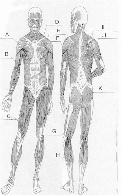 Muscle Diagram Worksheet Human Unlabeled Coloring Labels