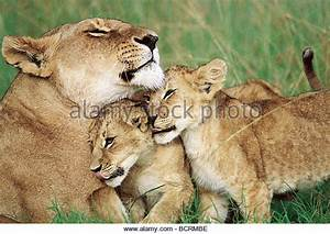 Image Gallery lioness and cubs