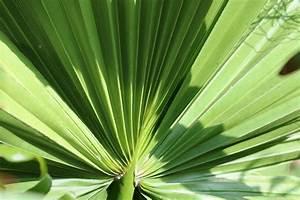 Palme Umtopfen Wurzeln Abschneiden : washingtonia robusta petticoat palme pflege von a z ~ Frokenaadalensverden.com Haus und Dekorationen