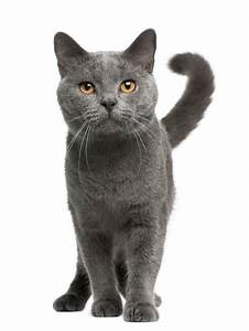 savannah cat chart chartreux katzen informationen zu den bienenarten omlet