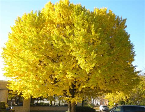 ginco trees gingko tree garden pinterest