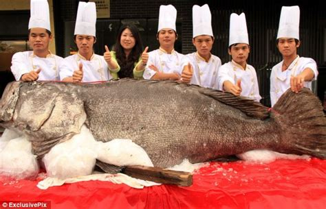 grouper giant catch staff fish hotel smiling goes display sushi long goliath deep metre pose hug ending turned gets happy